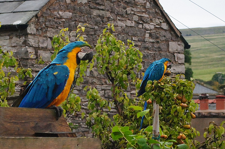 Kirkby Stephen Parrots - Eden Valley Cumbria